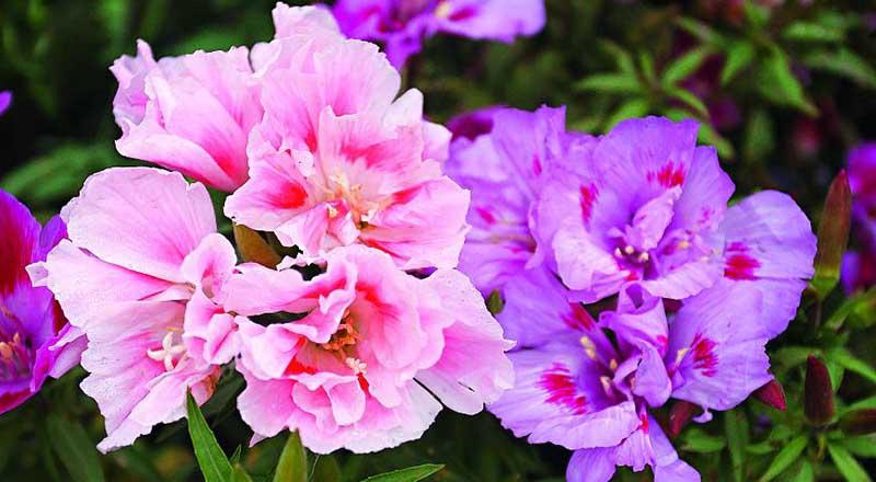 Как вырастить годецию и добиться обильного цветения?