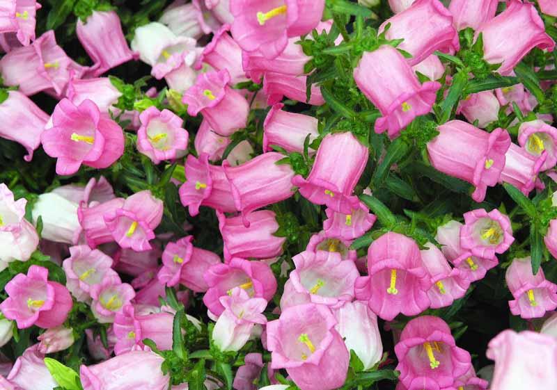 Колокольчик средний: выращивание из семян — Розы для Леди