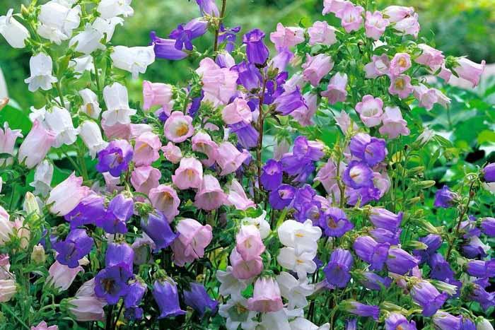 Колокольчик средний: выращивание из семян - Розы для Леди