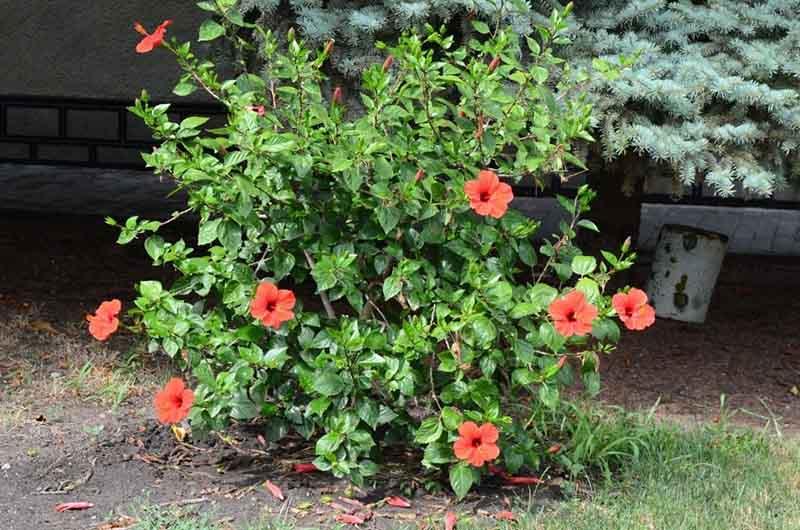 Кустовой гибискус – роскошный представитель Мальвовых