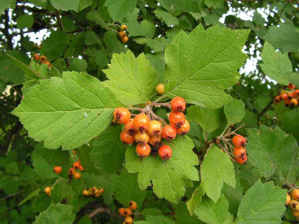 Ягоды и листья