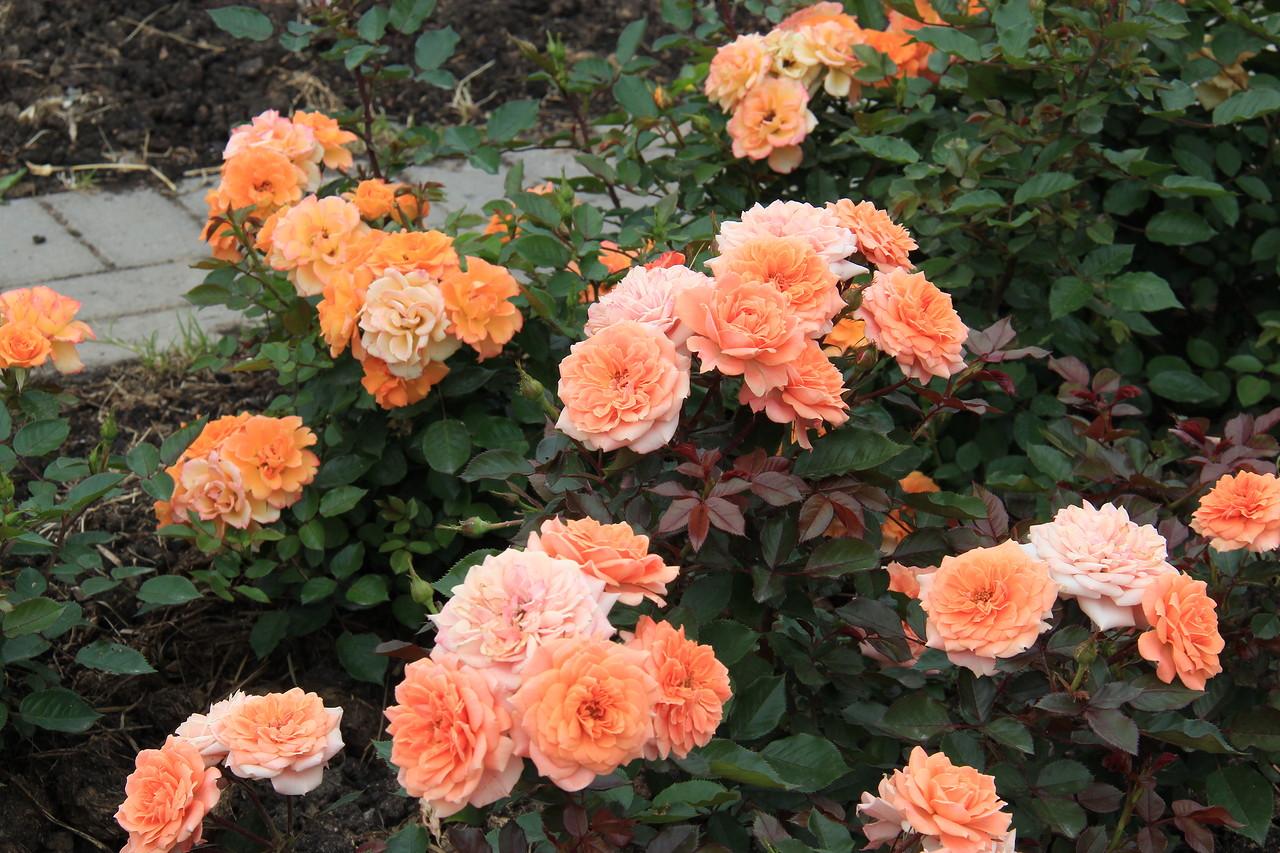 Роза брилиант