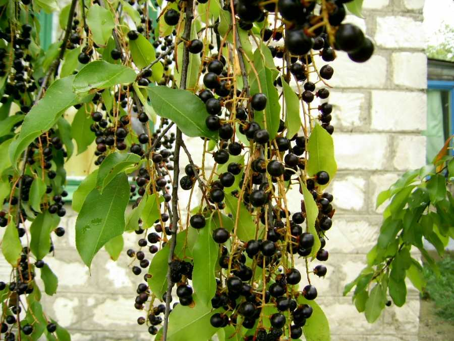 Эти разные черемухи. Как посадить и вырастить красивое дерево?