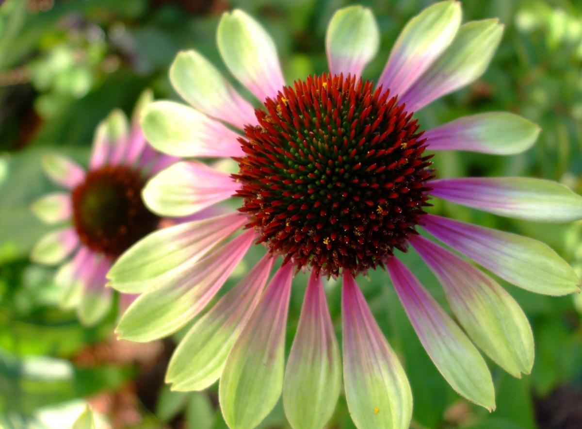цветок эхинацея фото посадка и уход