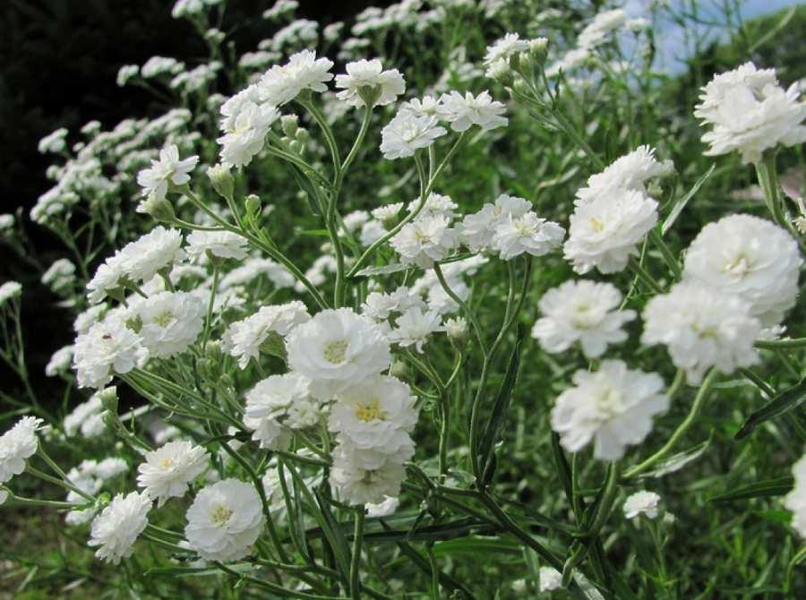 Гипсофила – цветущее облако в вашем саду. Уход, выращивание из семян
