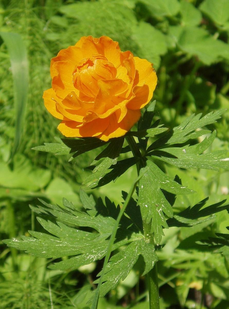 цветок оранжевый
