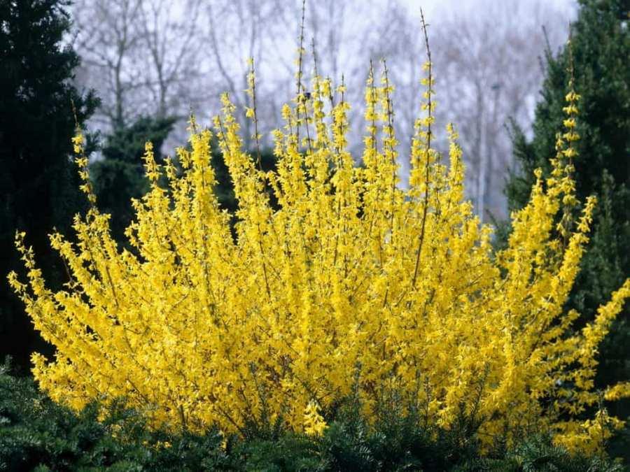 Форзиция – желтое облачко на даче. Описание, виды, особенности выращивания