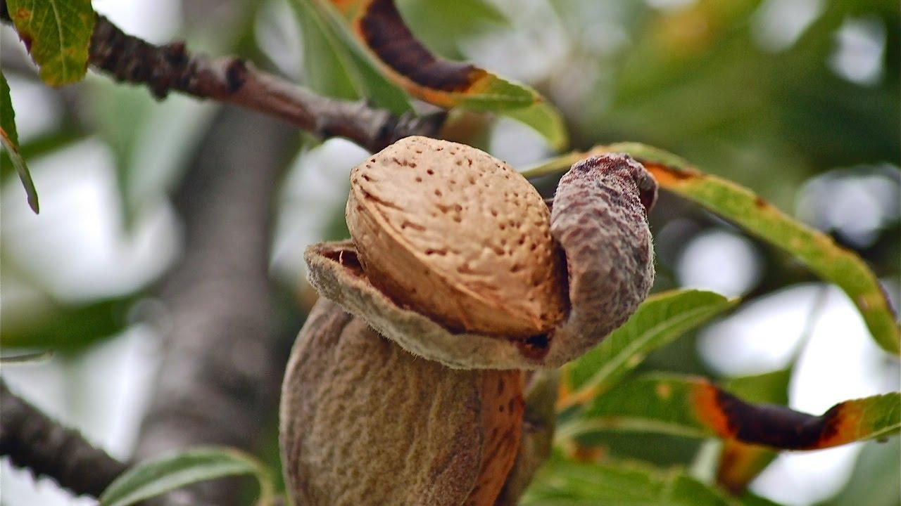 Миндальный плод