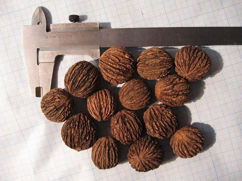 Высохшие орехи