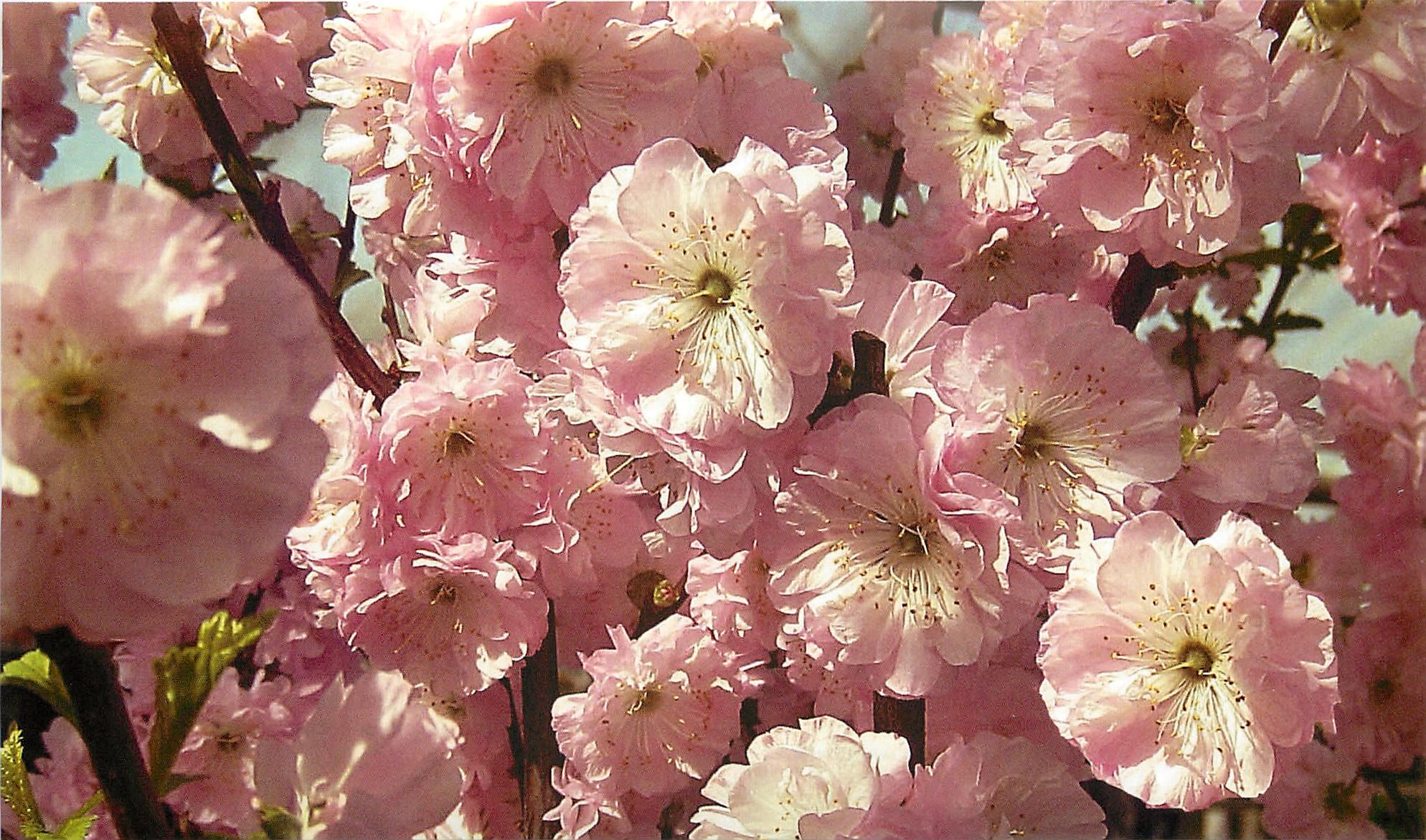 Цветки миндальные