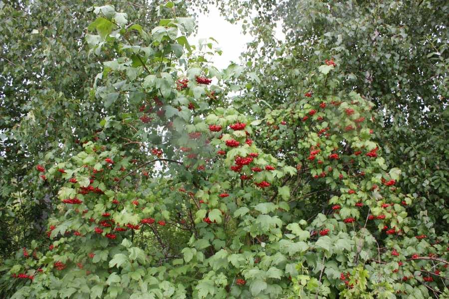 Ах, этот боярышник: основные виды, правила выращивания на даче