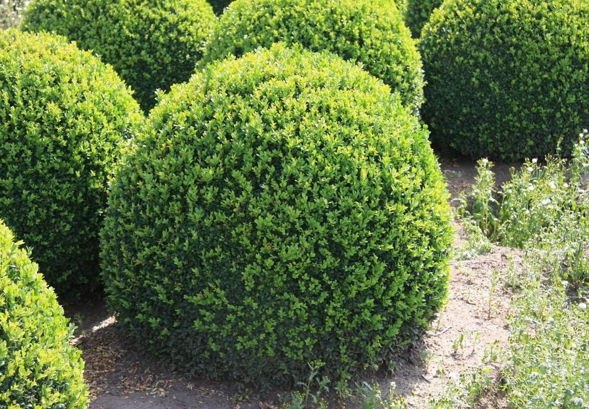 сорт вечнозеленый