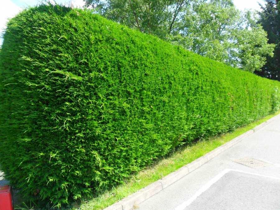 Ландшафтный дизайн – как закрыться от соседей (живые изгороди, вертикальное озеленение)