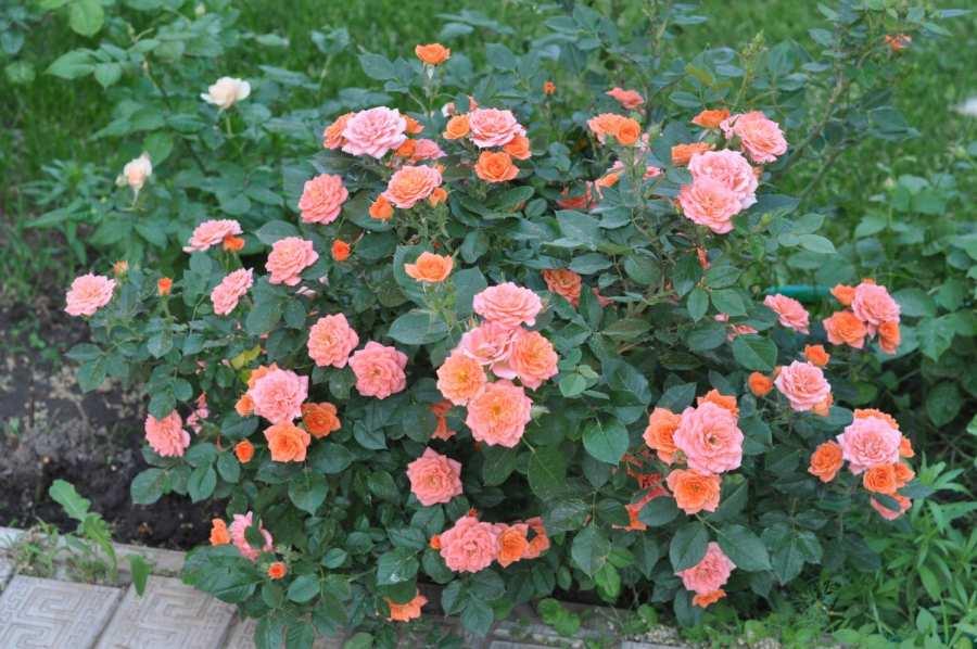 Роза Микс. Достойный уход за цветком в домашних условиях