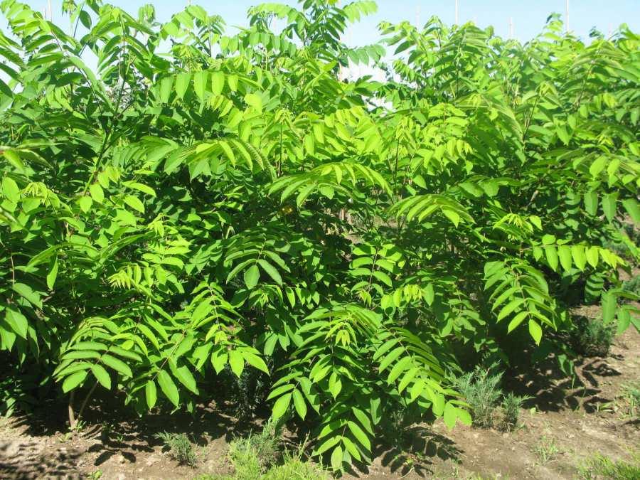 Орех маньчжурский: выращивание и уход, положительные свойства