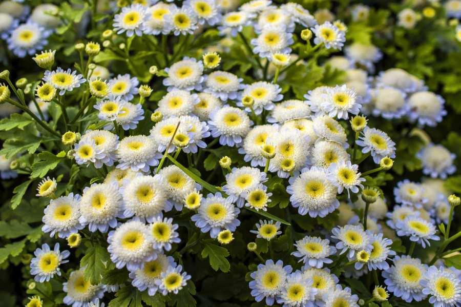Пиретрум девичий: красота в каждом цветке. Посадка, уход за растением