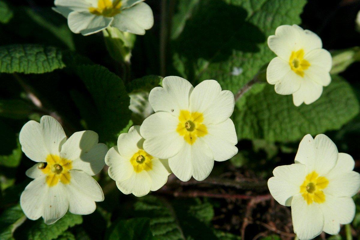 Примула с белыми цветами
