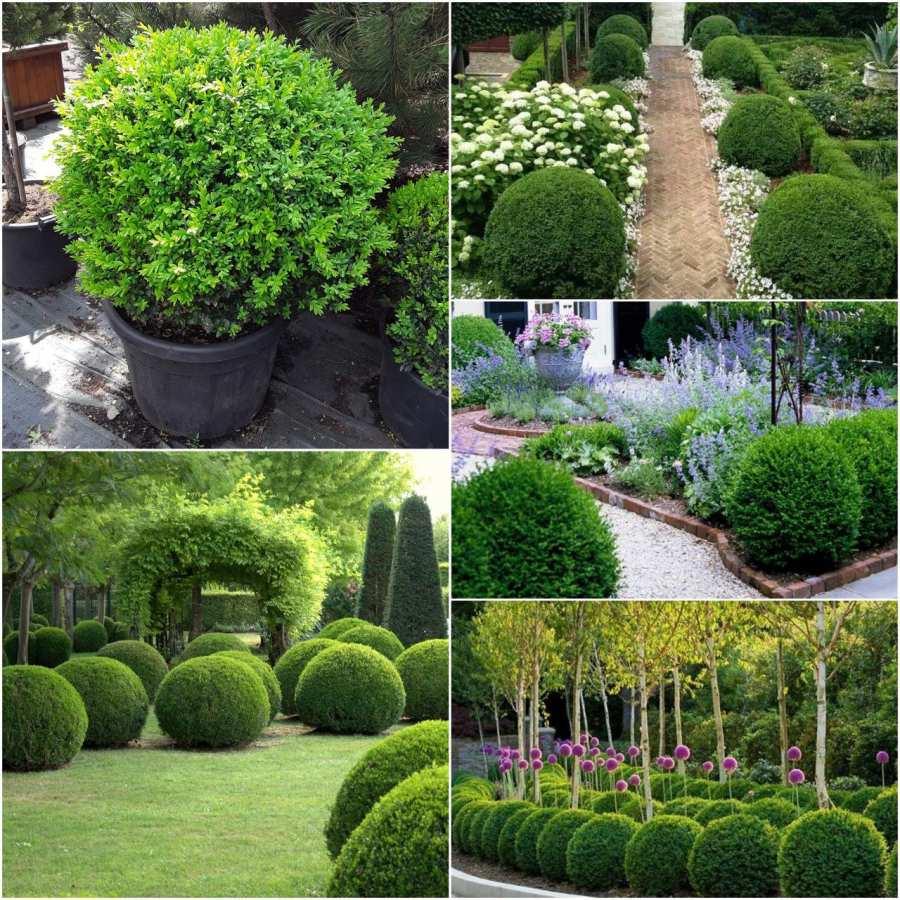 Самшит – вечнозеленый кустарник на вашем участке. Правильная посадка и уход