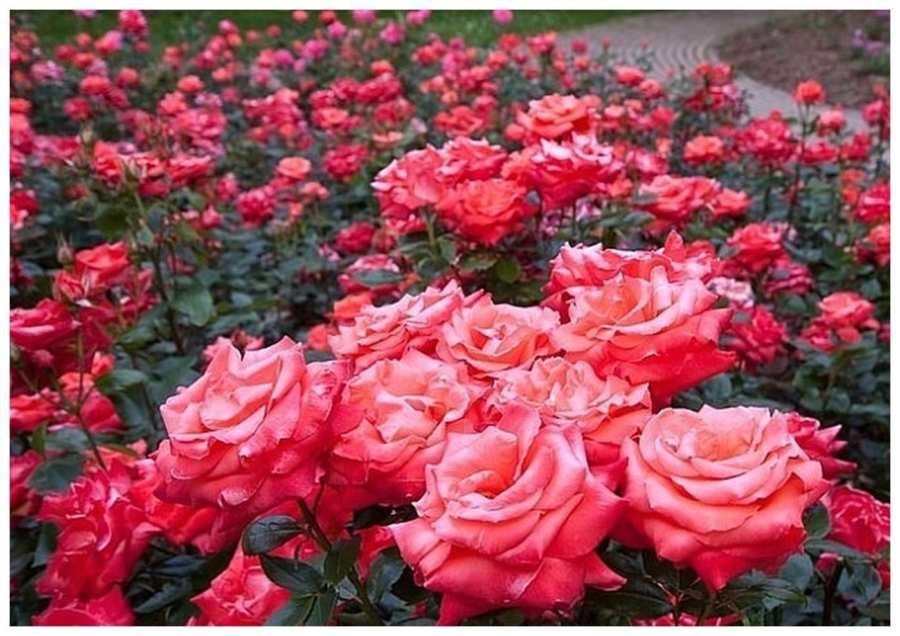 Секреты выращивания розы флорибунда