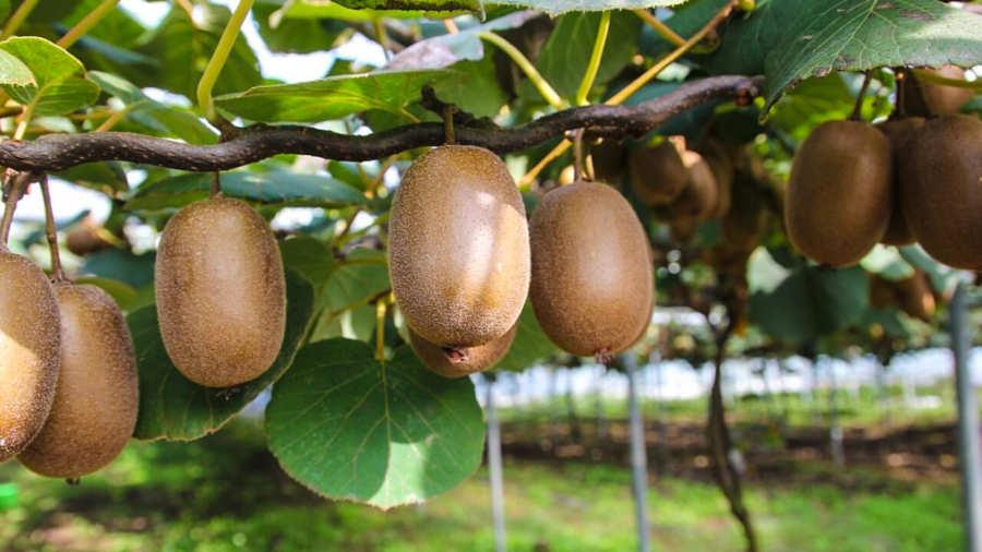 Киви: специфика выращивания в отечественных условиях