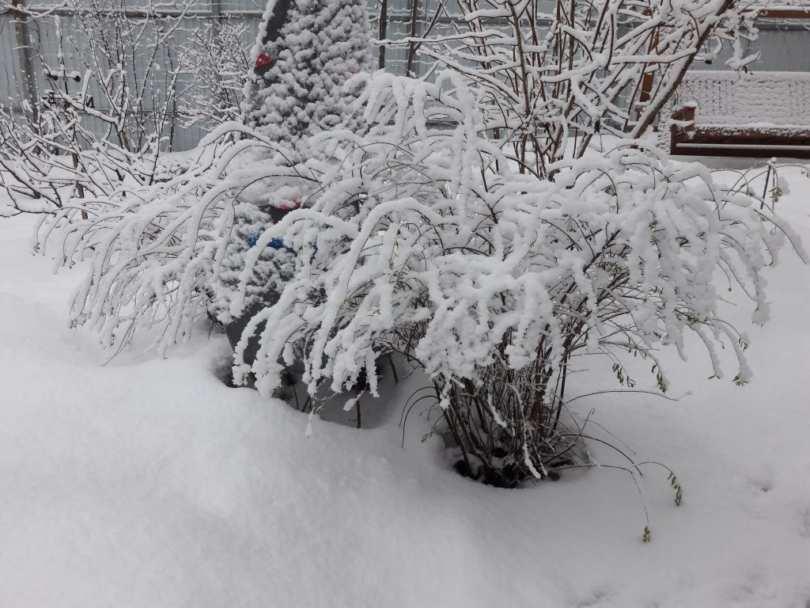 Зимовка Спиреи