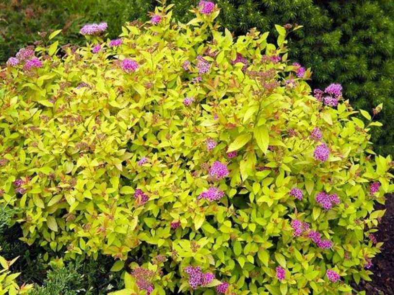 Спирея японская spiraea japonica