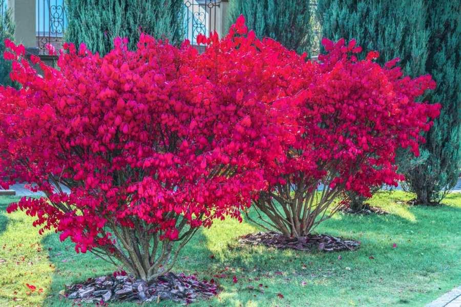 Бересклет — декоративный кустарник для яркой осени