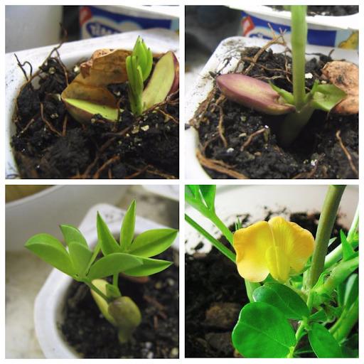 выращивание в горшке