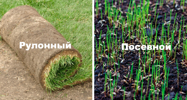 Рулонный или посевной газон: в чем разница?