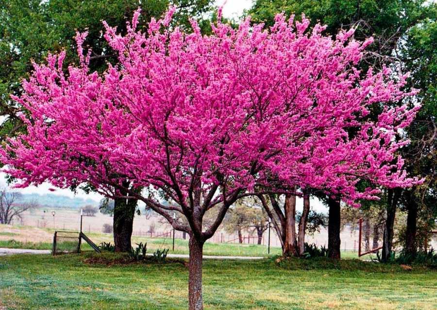 Церцис (иудино дерево): описание и применение
