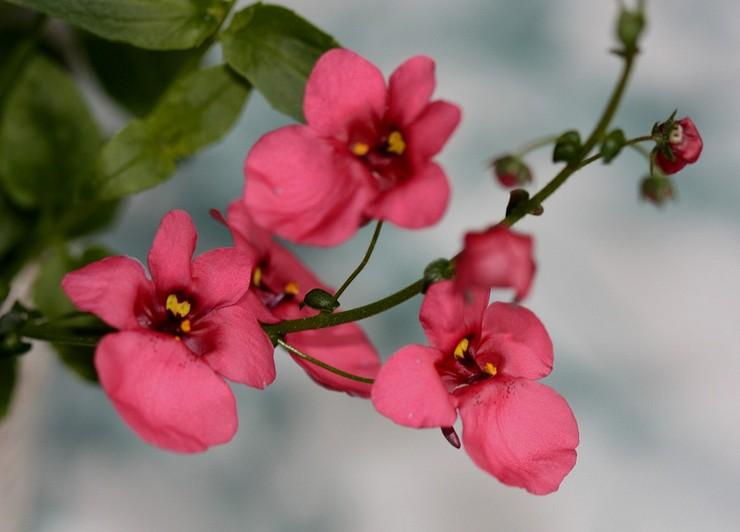 Диасция ампельная: выращивание цветка из семян