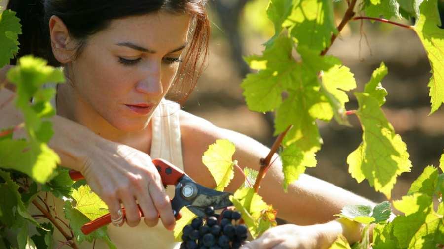 Осенний уход за виноградом