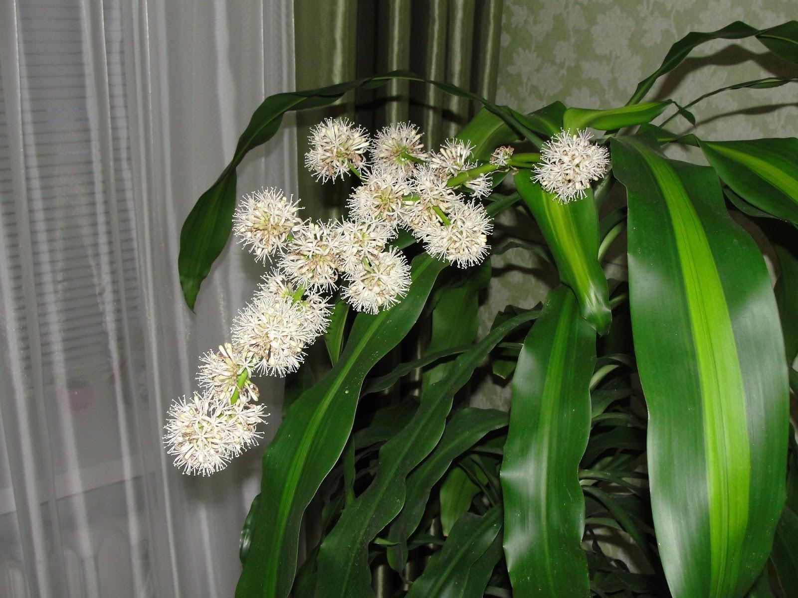 Как цветет драцена уход