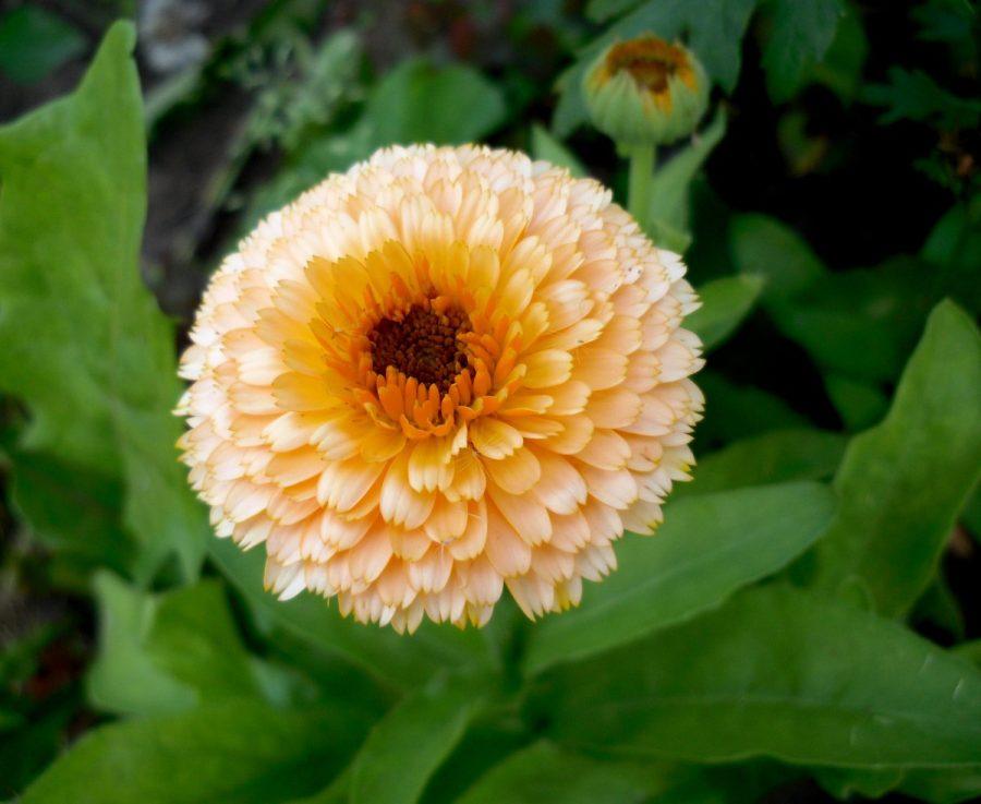 Календула цветок выращивание 2