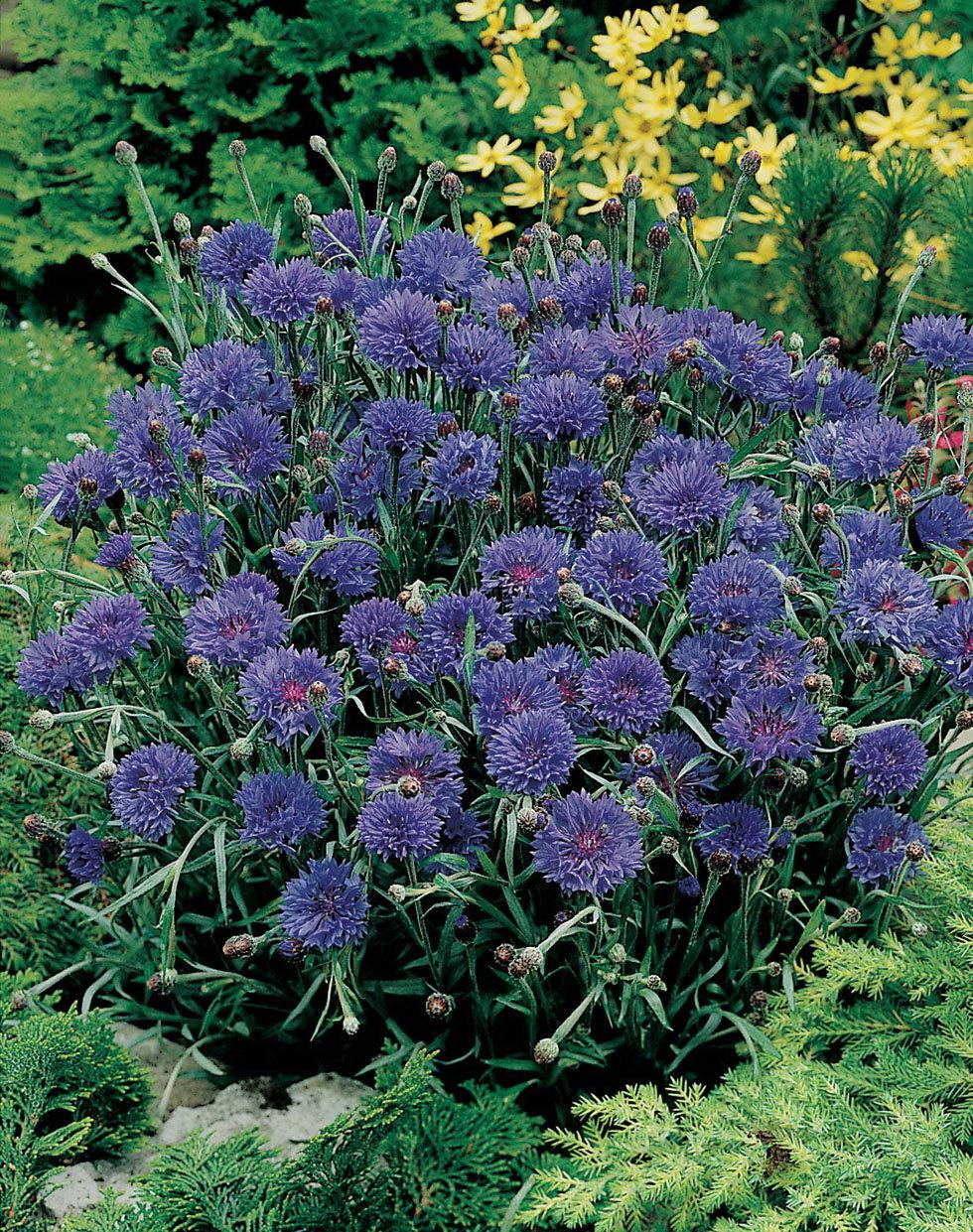 Василек выращивание из семян 995