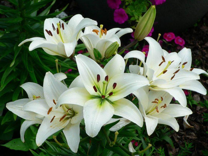 Цветы похожие на лилии только маленькие 104