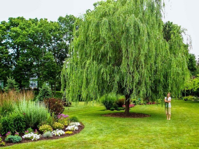 Плакучие деревья в ландшафтном дизайне